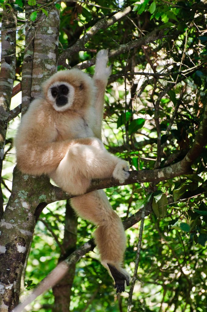 White handed gibbon, Monkeyland, The Craggs, South Africa