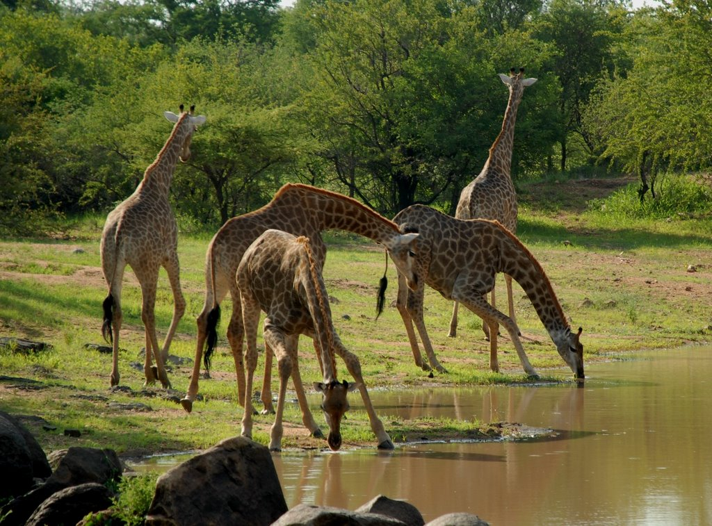 Giraffe Group Drinking