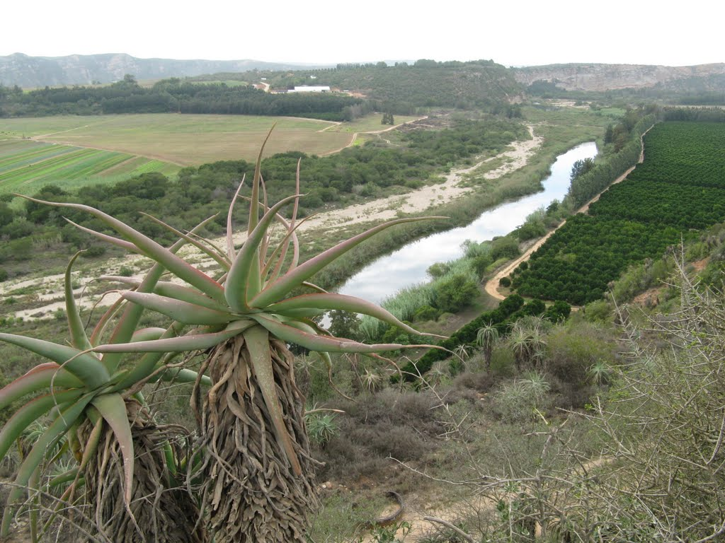 Aloes on the Gamtoos River
