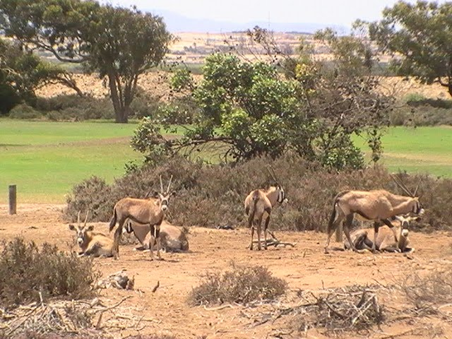Oryx - Oranjemund Golf Course