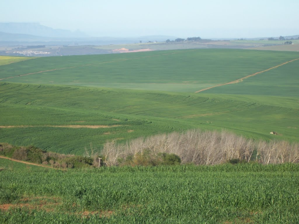Wheat in the SA breadbasket