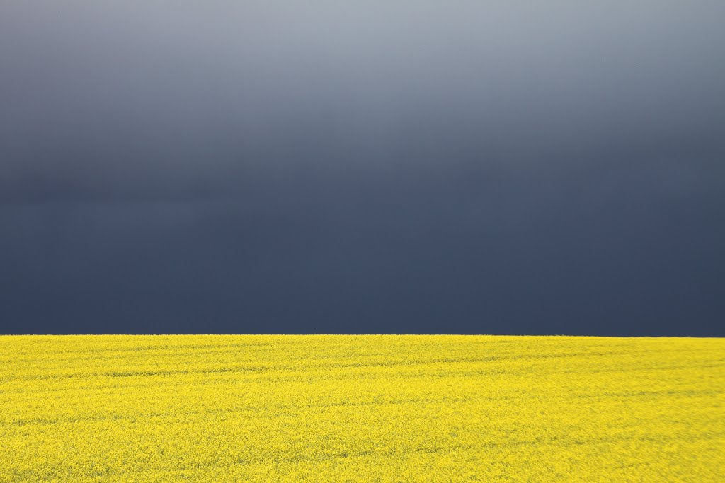 Canola field after the rain